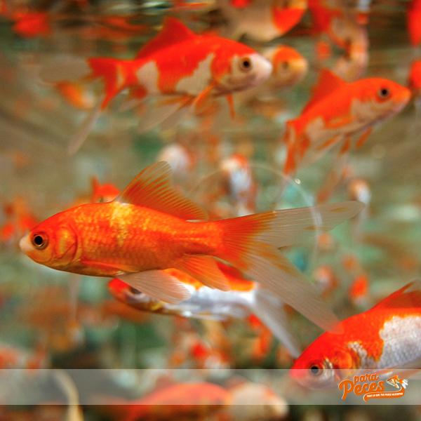 que comen los goldfish